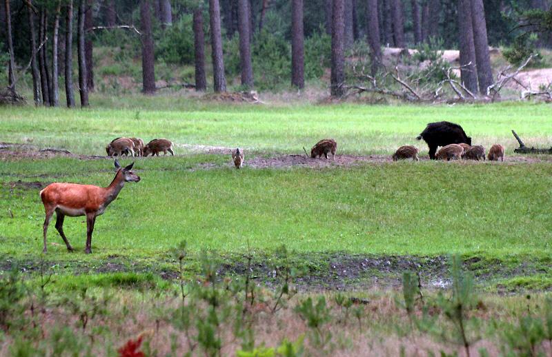 Hert met roedel zwijnen, gespot door Anne van der Feest