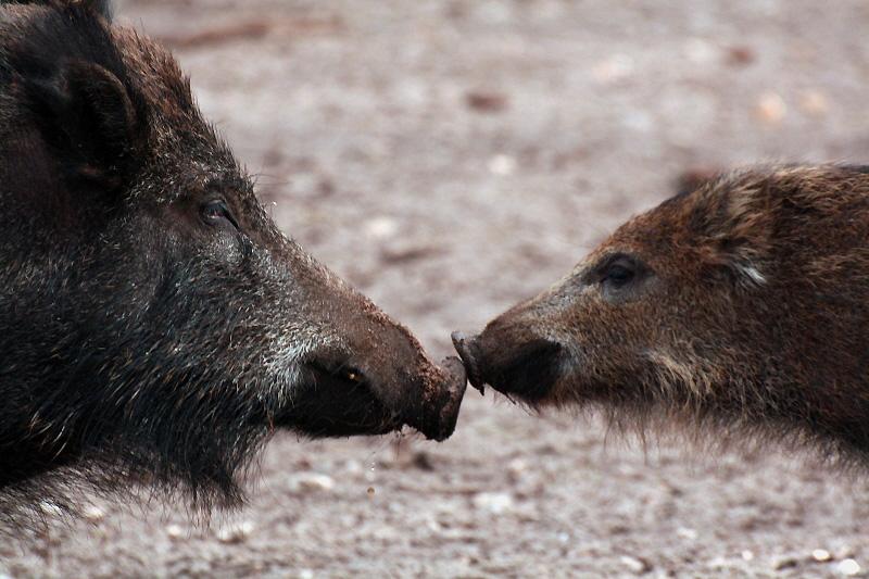 Moederzwijn met jong, gespot door Anne van der Feest